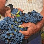 Grapes at Harvest